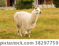 Alpaca white colour on green glass farm 38297759