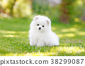 Adorable white Pomeranian puppy spitz. 38299087