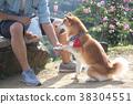 柴犬 寵物 戶外 38304551