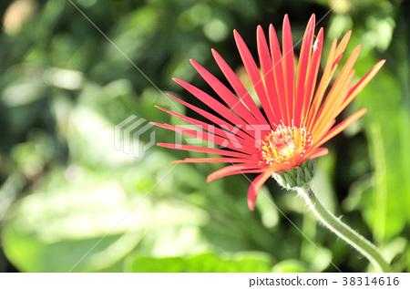 Gerbera's red flower 38314616