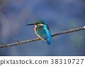 翠鳥 野生鳥類 野鳥 38319727