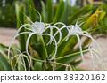 Spider Lily, Hymenocallis Caribaea. White 38320162