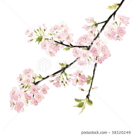 櫻花盛開 38320249
