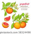 grapefruit vector set 38324496