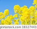 【카나가와 현】 유채 꽃 38327443