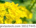 【카나가와 현】 유채 꽃 38327445