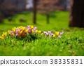 Crocusses in the english garden 38335831
