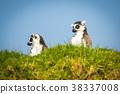 lemur, animal, lemurs 38337008