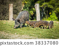 Mother boar with piglets 38337080