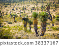 Dry Desert at daylight with cactuses 38337167