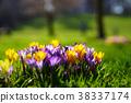 Crocusses in the english garden 38337174