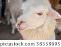 alpaca, animal, white 38338695
