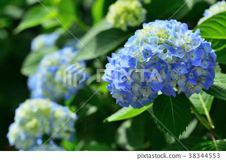 繡球花 花朵 花 38344553
