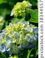 hydrangea 38344557