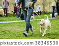 Dog breed of bullterrier for a walk with the owner 38349530