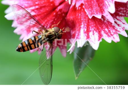 近拍蜜蜂停在甜心威廉康乃馨上 38355759