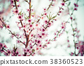 blooming peach trees in spring on a Sunny day 38360523