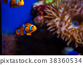 Tropical clown fish and corals. Beautiful  38360534