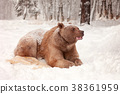 European Brown Bear in a winter forest 38361959