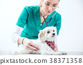 Female vet examinates a dog using a stethoscope 38371358
