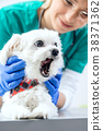 The dog yawns during the examination of the teeth 38371362