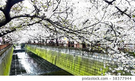 櫻花季節 38377944