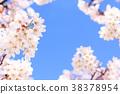 cherry, blossom, tree 38378954