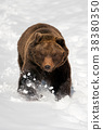 bear, animal, wildlife 38380350
