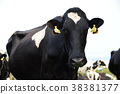 graze, grazing, pasturage 38381377