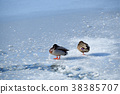 겨울의 홋카이도 나나에 정 오 누마 공원에서 얼어 붙은 늪에서 지내고있는 청둥 오리의 풍경을 촬영 38385707