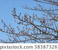 kawazu cherry blossoms, kawaji sakura, bud 38387326