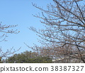 kawazu cherry blossoms, kawaji sakura, bud 38387327
