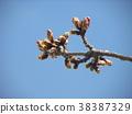 kawazu cherry blossoms, kawaji sakura, bud 38387329