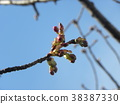 kawazu cherry blossoms, kawaji sakura, bud 38387330