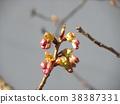 kawazu cherry blossoms, kawaji sakura, bud 38387331