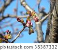 kawazu cherry blossoms, kawaji sakura, bud 38387332