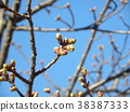 kawazu cherry blossoms, kawaji sakura, bud 38387333