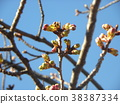 kawazu cherry blossoms, kawaji sakura, bud 38387334