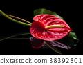 Red Anthurium on black. 38392801