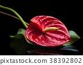 Red Anthurium on black. 38392802