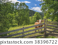 Cow behind a fence in alpine scenery 38396722