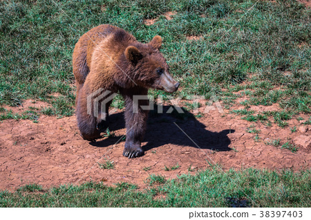 North American Grizzly Bear at sunrise in Western  38397403