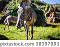 The Grevy s zebra (Equus grevyi), sometimes  38397993