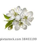 Beautiful tender cherry flowers. 38403199