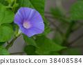 牽牛花 花朵 花 38408584