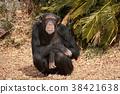 chimp chimpanzee ape 38421638