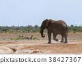 ช้างแอฟริกัน 38427367