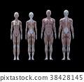女性男性解剖肌肉3DCG插圖素材 38428145