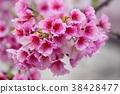 桃花 花朵 花卉 38428477