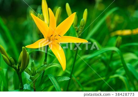 백합과 비슷한 꽃 헤메로카리스 38428773